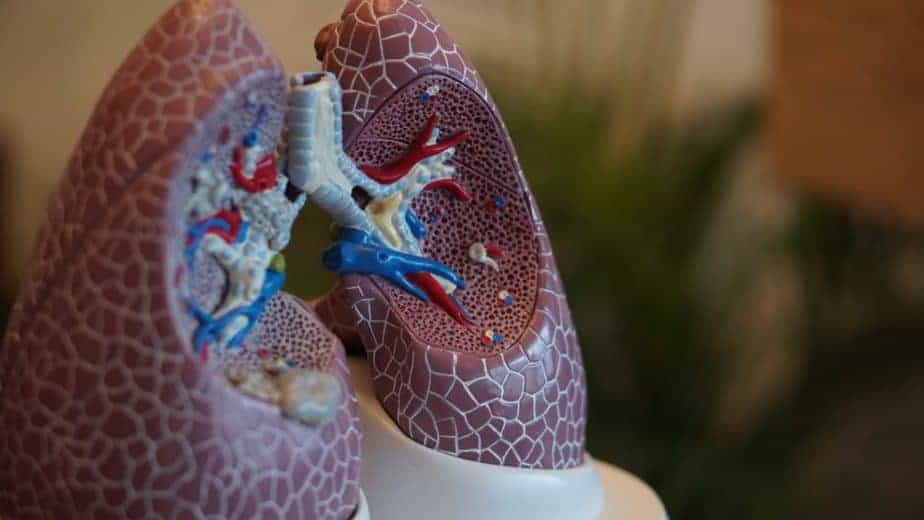 photo taken of model of lungs