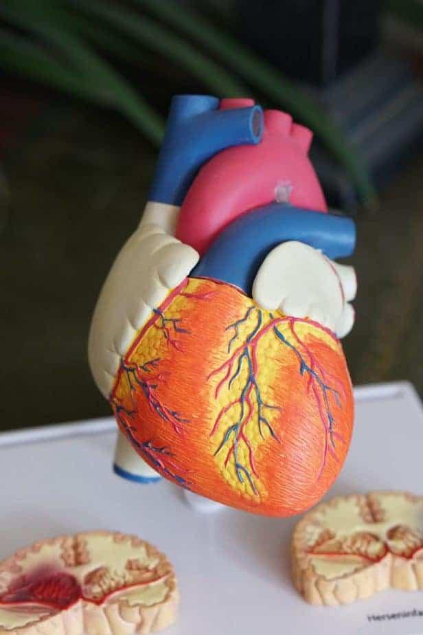 modelo de corazón humano