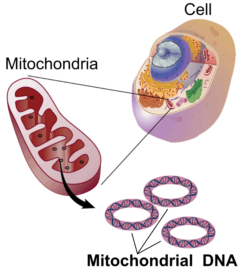 Mitochondrial DNA (mtDNA) is separate from 23 pairs of chromosomes.