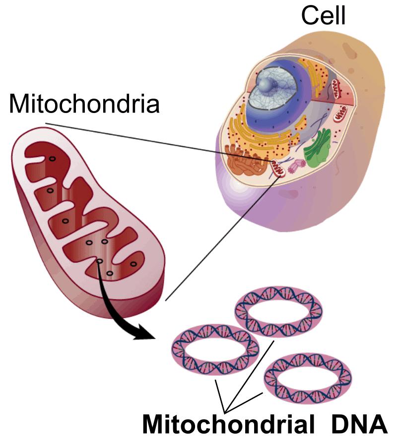 线粒体DNA(mtDNA)从23对染色体中分离出来。