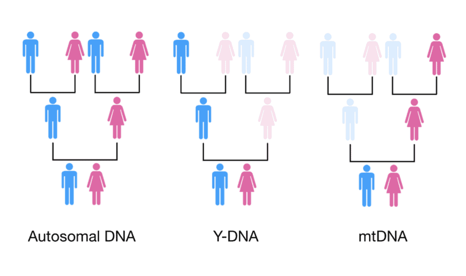 Inheritance of autosomal DNA, mtDNA, and Y-DNA.