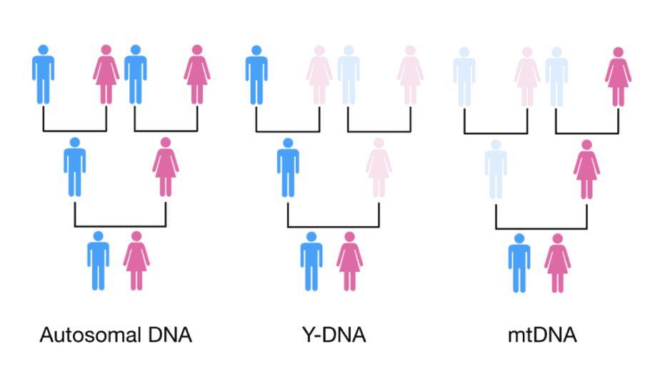 常染色体DNA、mtDNA和Y-DNA的遗传。