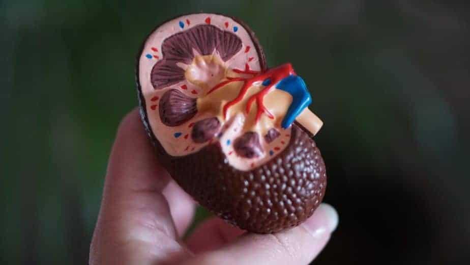 人間の腎臓のモデル
