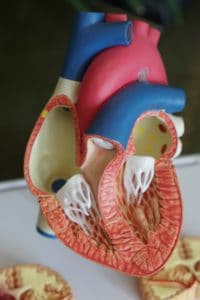 model of inside human heart