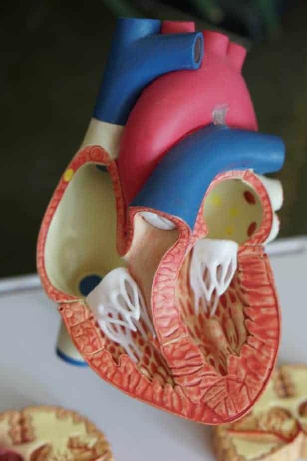 modelo del corazón humano interior