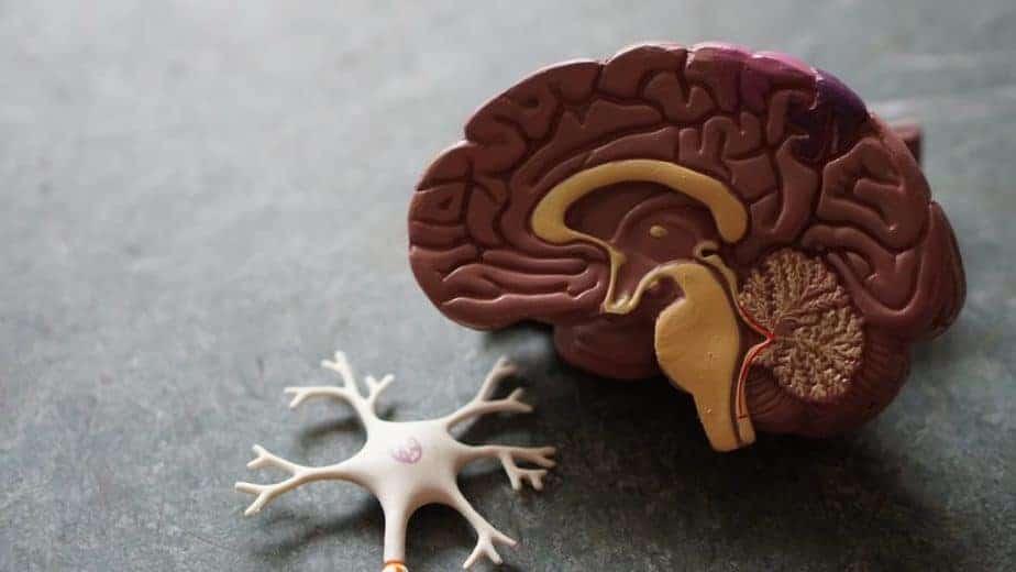 modèle de cerveau et de neurone