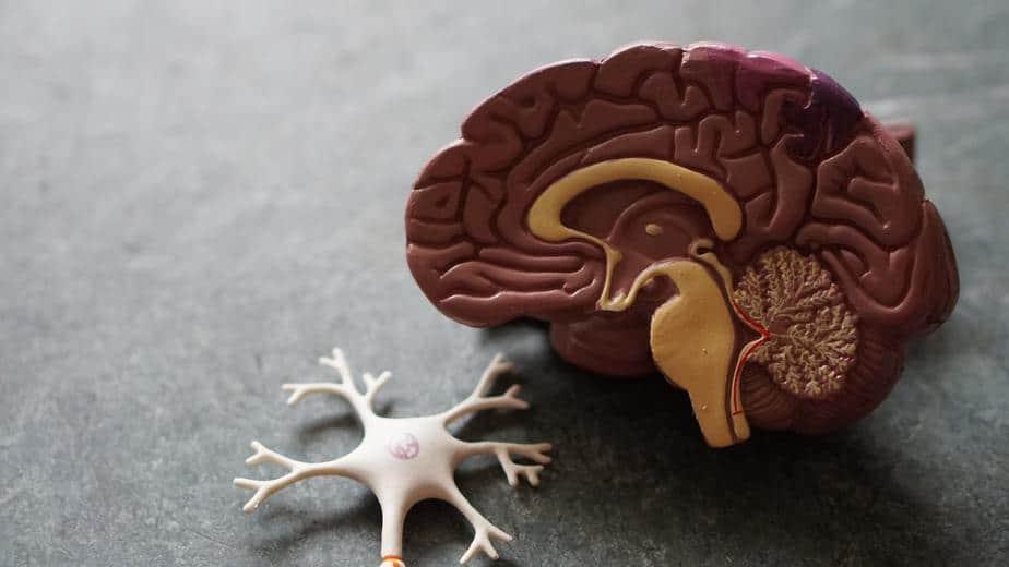 model of brain and neuron