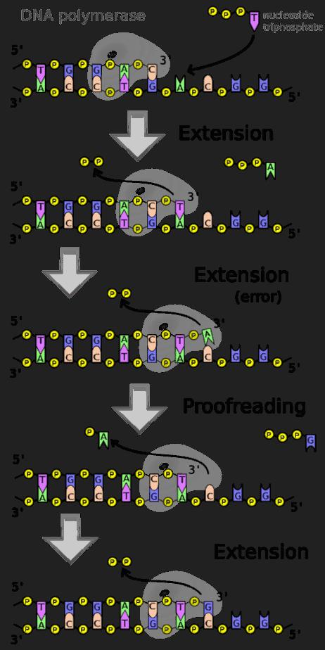 Les fonctions au niveau des sites actifs de l'ADN polymérase.