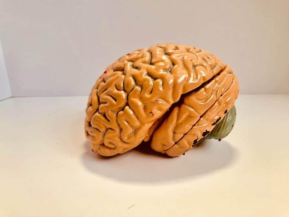 modèle de cerveau humain