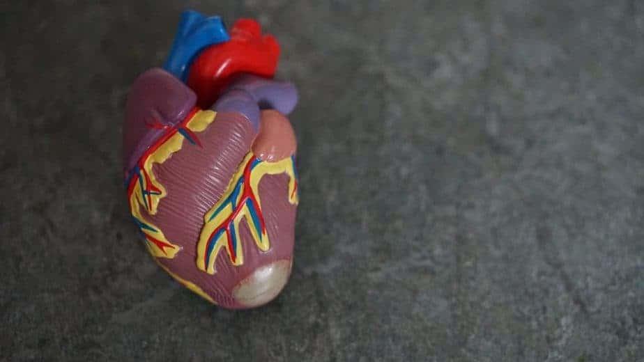 model of heart