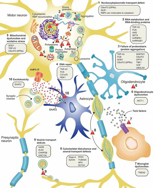Mechanismen, die mit ALS zusammenhängen können