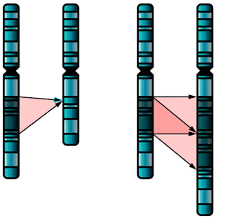 Diagram of gene deletion and duplication.