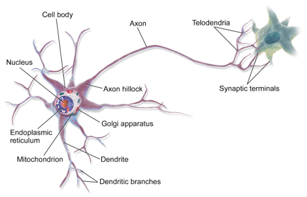 The anatomy of a nerve cell