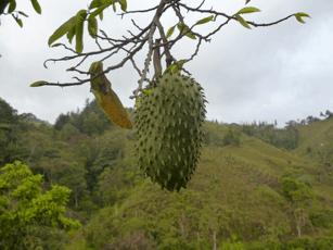 Guanabana fruit