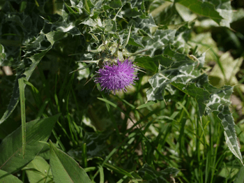 Un ingrediente del té de Iaso, Holy Thistle