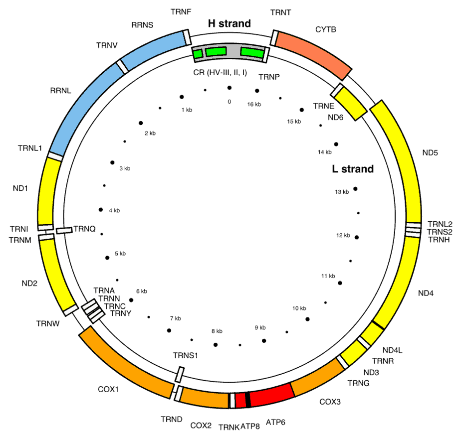 mtDNA testing is a type of ancestry DNA test