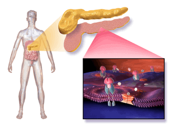 Cellular mechanism of type 2 diabetes