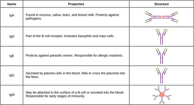 Immunoglobulins in the body