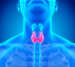 The thyroid, shown at the base of the neck