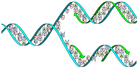 What does DNA stand for? DNA replication