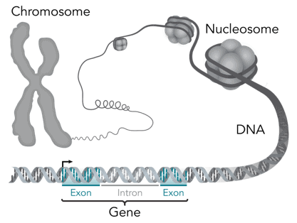 What does DNA stand for? A gene in the DNA