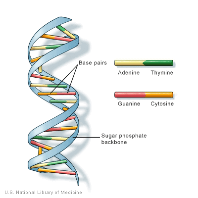 The components of a DNA strand