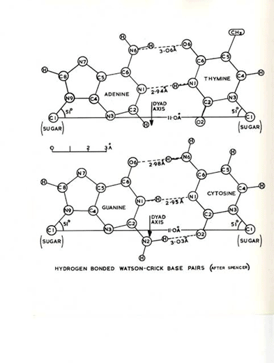Sketch of the DNA model
