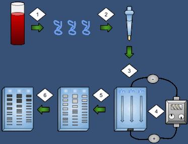 PCR based DNA fingerprinting