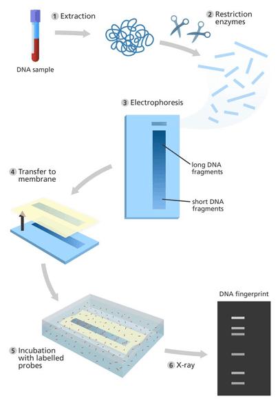 Restriction digest based DNA fingerprinting