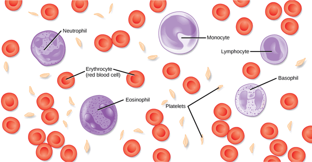 White blood cells are affected in blood cancer